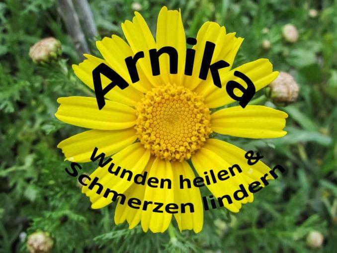 Arnika - Wunden heilen und Schmerzen lindern | Kochen-verstehen.de