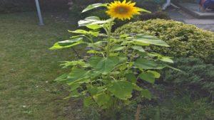 Sonnenblume auf Kochen-verstehen.de